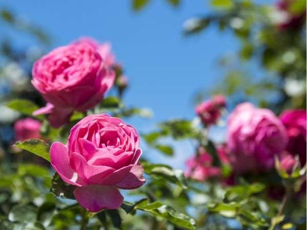 Giấc mơ thấy hoa hồng có điềm báo điều gì?